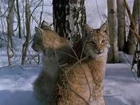 Кадр из фильма «Рысь выходит на тропу»